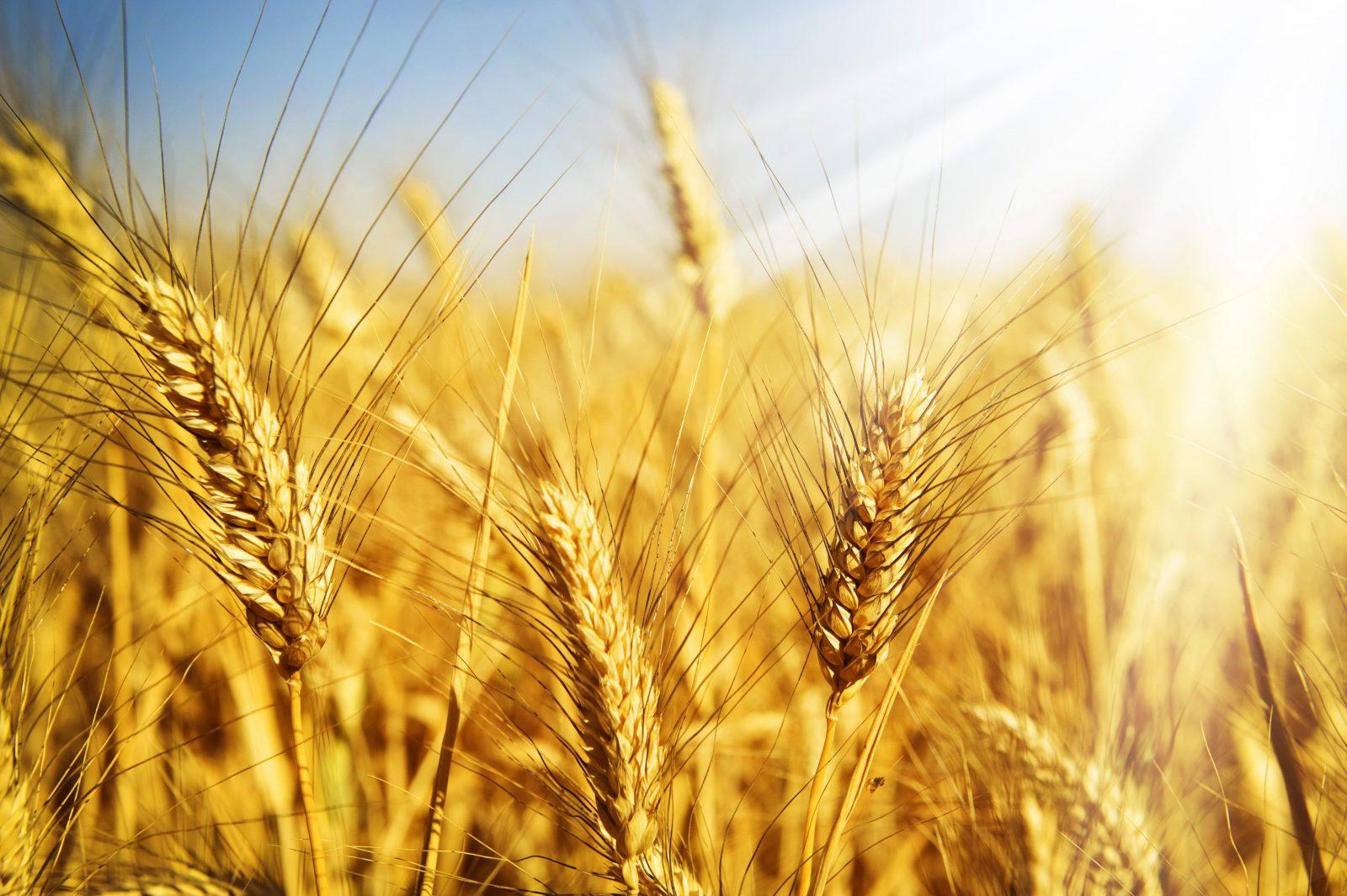 Украина в лидерах по урожайности пшеницы